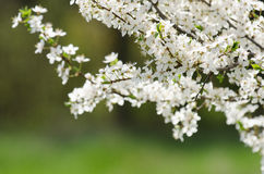 Plum cherry flowers Stock Photography