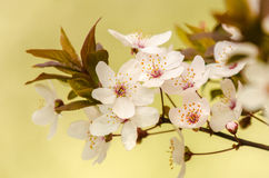 Plum cherry flowers Royalty Free Stock Images