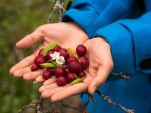 Plum cherry Stock Photo