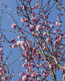 Plum. Is China`s top ten flowers of the first, and orchids, bamboo, chrysanthemum together as a four gentlemen, and pine, bamboo and known as the `three-year Royalty Free Stock Photo
