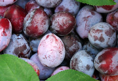 Plum closeup as background Royalty Free Stock Images