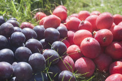 Plum and crabapple. Lilac plumes and pink crabapples on grass Stock Image