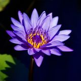 Plum Crazy Tropical Waterlily stock foto's