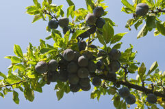 Plum crops on tree Stock Images