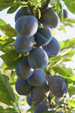Plum crops on tree Royalty Free Stock Image