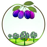 Plum cultivation Royalty Free Stock Image