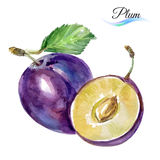 Plum. Drawing watercolor on white background for design stock illustration