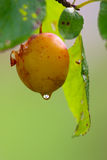 Plum and drop of water Royalty Free Stock Photography