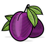 Plum engraving color illusrtration Royalty Free Stock Image