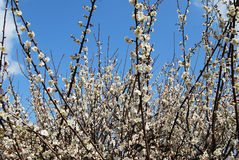 Plum flower. S in boom, sign of coming new spring Royalty Free Stock Images