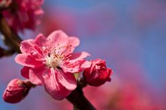 Plum flower. This is a picture of plum flowers is typical of the spring flower of Japan Stock Photography