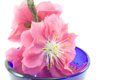 Plum flower. This is a picture of plum flowers is typical of the spring flower of Japan Stock Photos