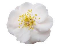 Plum flower. Isolation Royalty Free Stock Photos