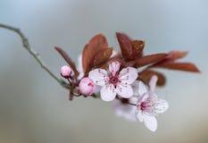 Plum Flower Fotografie Stock Libere da Diritti
