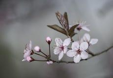 Plum Flower Fotografia Stock Libera da Diritti