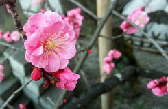 Plum Flower Royalty-vrije Stock Afbeelding