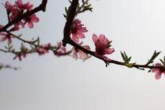 Plum Flower Fotografía de archivo libre de regalías