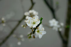Plum Flower Arkivfoto