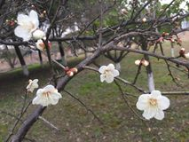 Plum Flower Photo libre de droits