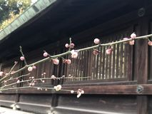 Plum Flower Royalty-vrije Stock Foto