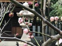 Plum Flower Stock Afbeeldingen
