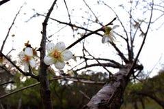 Plum Flower Imagenes de archivo