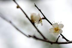 Plum Flower Fotos de archivo libres de regalías