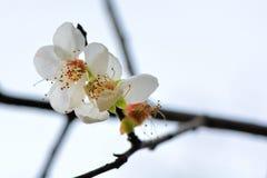 Plum Flower Imagen de archivo libre de regalías