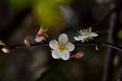 Plum Flower Foto de archivo