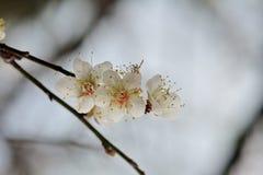 Plum Flower Foto de archivo libre de regalías