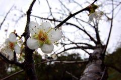 Plum Flower Fotos de archivo