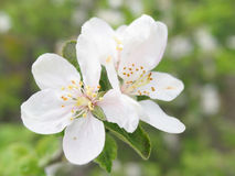 Plum flower. Blooming plum branch Royalty Free Stock Photos