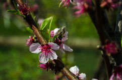 Plum flower and the bee Stock Photos