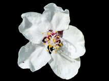 Plum flower Stock Image