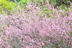 Plum flower blossom Royalty Free Stock Photography