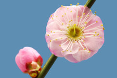 Plum flower Stock Image
