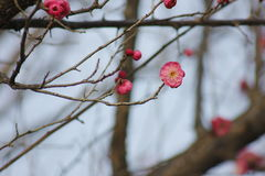 Plum flower and bulb coming out in the early spring Royalty Free Stock Photo