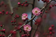 Plum flower and bulb coming out in the early spring Stock Photos