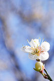 Plum flower. Stock Image