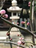 Plum flower Royalty Free Stock Image