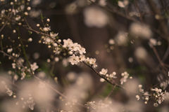 Plum flower royalty free stock photo