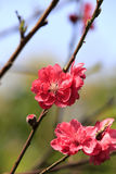 Plum flower Stock Photos