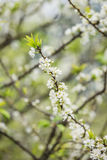 Plum flower in the forest Royalty Free Stock Image
