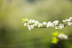Plum flower in the forest. Plum flowers in the forest at Moc Chau, Son la province, Vietnam Stock Photography