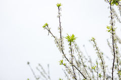 Plum flower in the forest Royalty Free Stock Images