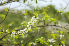 Plum flower in the forest Stock Photo