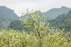 Plum flower in the forest Stock Images