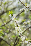 Plum flower in the forest Stock Photos