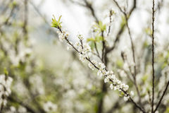 Plum flower in the forest Royalty Free Stock Photo