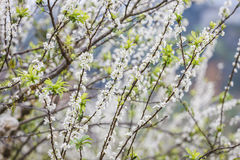 Plum flower in the forest Stock Image